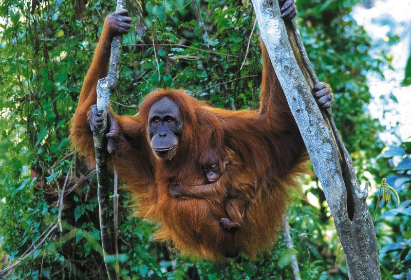 Orangutan Sumatera Pongo abelii   Abang