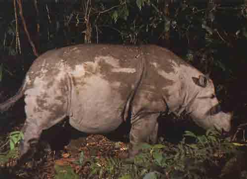 gambar badak sumatra